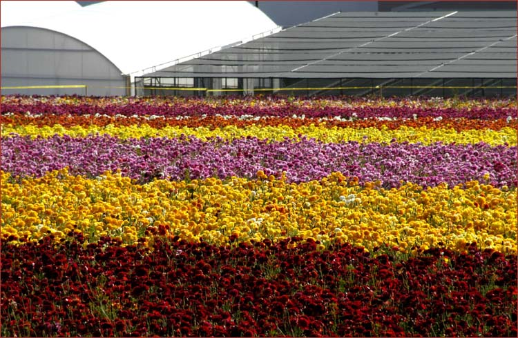 The Flower Fields 50 acres of extraordinary color in bloom on a hillside overlooking the Pacific Ocean
